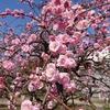 難波津に 咲くやこの花 冬ごもり 今は春べと 咲くやこの花【高津神社 梅林は花盛り】