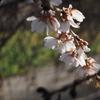ことし最後の桜の撮影