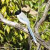 実は多彩で美しいカラス科の野鳥たち【黒くないカラスもいる】