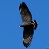 ベリーズ 自宅上空を舞う鳥たち コモンブラックホーク他