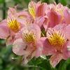 アルストロメリア - 今日の誕生花 -