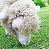 【六甲山牧場】羊とたわむれて穏やかな気持ちになれる、街からすぐの牧場【スポット<神戸>】
