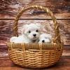 ロイヤルカナン スタータームース マザー&ベビードッグを離乳期の子犬に与えてみました
