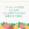 アーモンドの花はどんな花?どんな実ができるの?画像付きで解説!