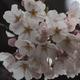 金沢、桜開花しました(笑)