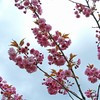 八重桜と枝垂桜は満開です。