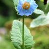 幻の花・ヒマラヤの青いケシ!日光「上三依水生植物園」6月20~25ごろまでがおススメ