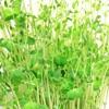 豆苗の再生栽培は何回が限度?4年間実践して水の適量と適温がわかった気がする