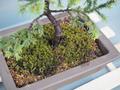 アカエゾマツを盆栽鉢に植え替えました。