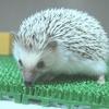 人工保育のノーマルハリネズミの赤ちゃん2日目