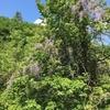 藤の花と新緑