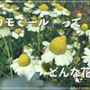 カモミールってどんな花?