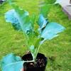 ブロッコリーの植え付け!チンゲンサイの花芽!