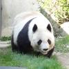 神戸市王子動物園に行ってみたら、パンダは元気に歩いていたよ~