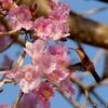 ベリーズ ポウイの花と野鳥たち
