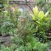 今朝の庭から・・・ケラトスチグマ