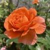 輝くようなオレンジのバラ! ビブレバカンスが初開花!