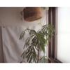 【観葉植物】エバーフレッシュの魅力&育て方をご紹介!
