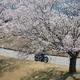 「金澤桜百景」蔵出し写真(その6)