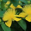紫陽花、ヒペリカム、七変化の頃