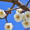 梅の花見 屋外でフラッシュ