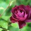 令和初薔薇