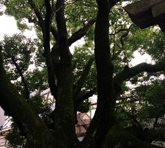 ★服部天神宮の楠