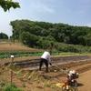 じゃが芋のマルチ張り 里芋とネギの植え付けをしました