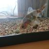 金魚にプレコのエサ