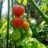 夏野菜の収穫中 2018家庭菜園の記録