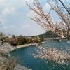 Kojiya dam's Sakura in Hyogo-ken