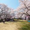 桜が満開、日本三大不動尊の一つ・瀧谷不動尊