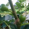 懐かしの果物