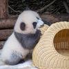 パンダが好きなら是非一度、本場中国四川省の成都パンダ繁育基地へ行ってみよう!
