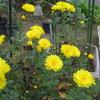 今日の花 小菊と他の花