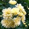 モッコウバラの花の量産
