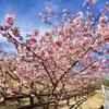 古津賀公園の河津桜が満開です!