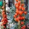 「立冬」、「六(八)割干し柿」の出来上がり。
