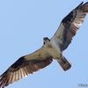 ベリーズ Osprey (オスプレイ ミサゴ)の狩りは命がけ