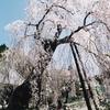 宝蔵寺のしだれ桜(4月前半)