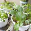 【脱力系農業】初心者が育てるべき野菜No.1は、ベビーリーフだ!