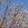 一番早い桜