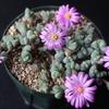 春を感じる碧魚連の開花