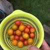 大葉とミニトマトの成長記録⑤