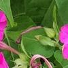 「土」とカボチャの雌花