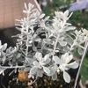 【シルバーリーフ】おしゃれで上品な白い葉っぱの植物・庭木まとめ