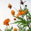 今日の一枚「立秋の秋桜」(2021.08.07)[花]