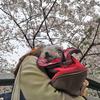 続・赤坂アークヒルズ周辺の桜