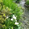 今朝は、温泉の玄関ディスプレイを、しょうぶからカラーの花に変えました