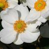 庭の「秋明菊」